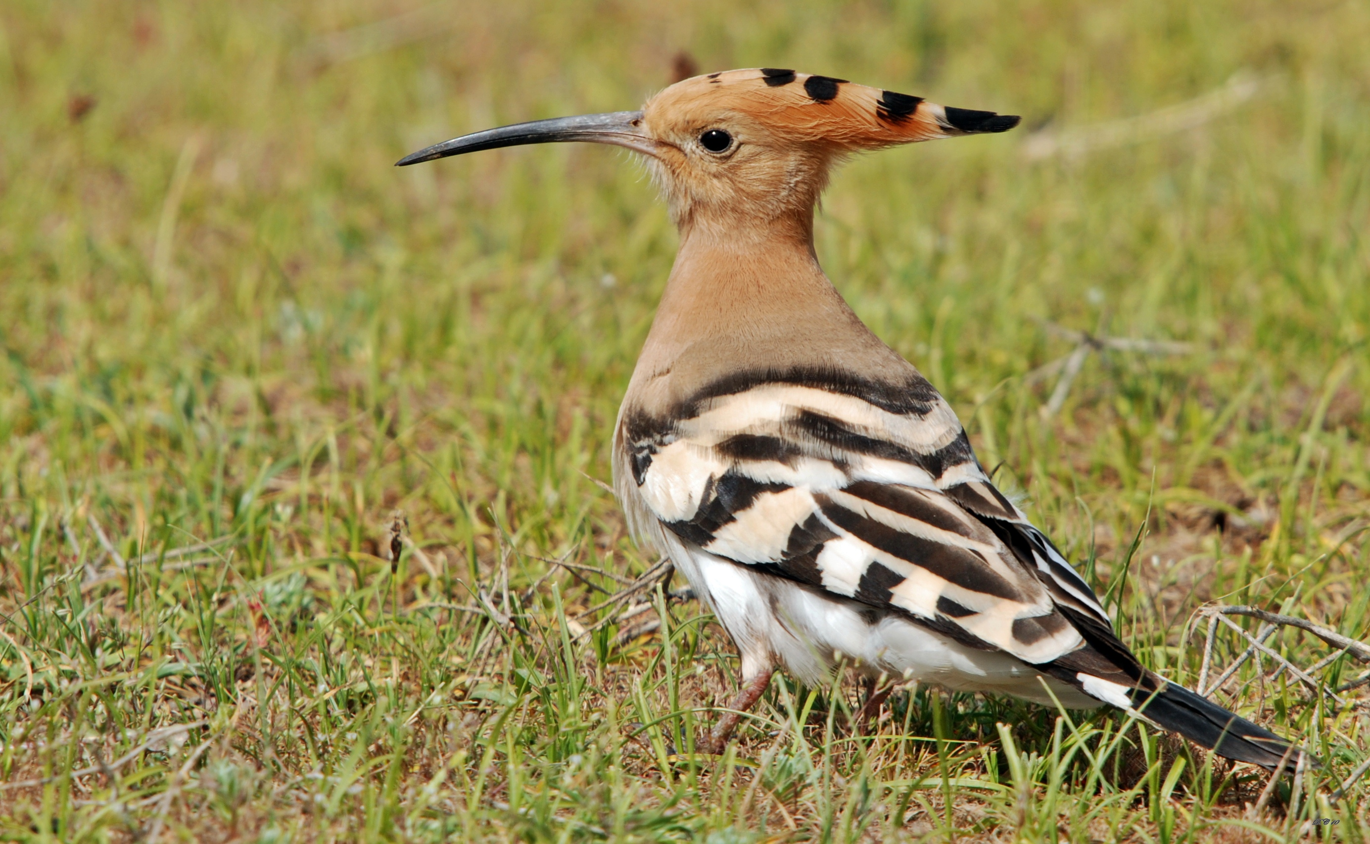 Eurasian Hoopoe wallpaper