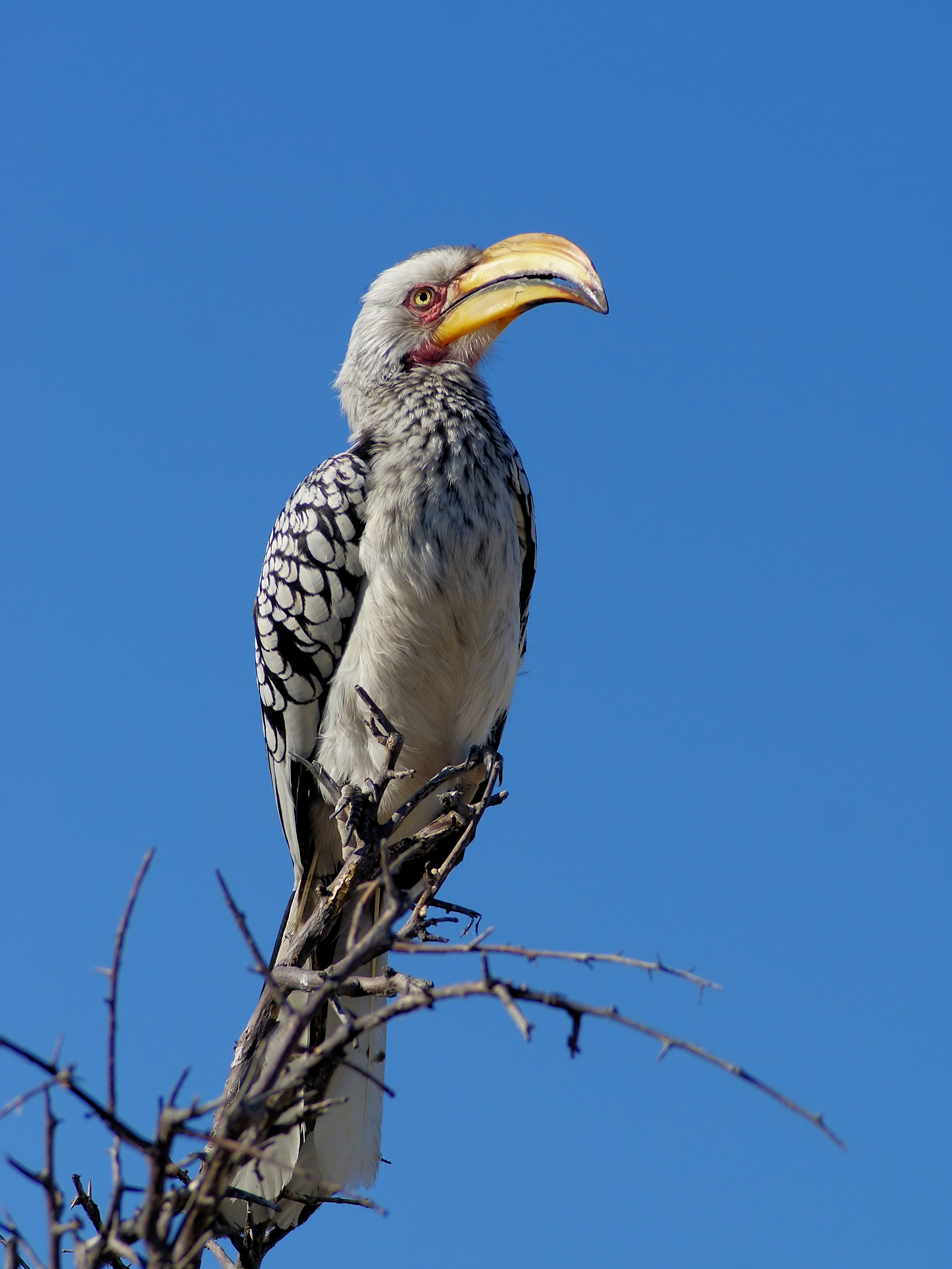 Southern Yellow-billed Hornbill wallpaper