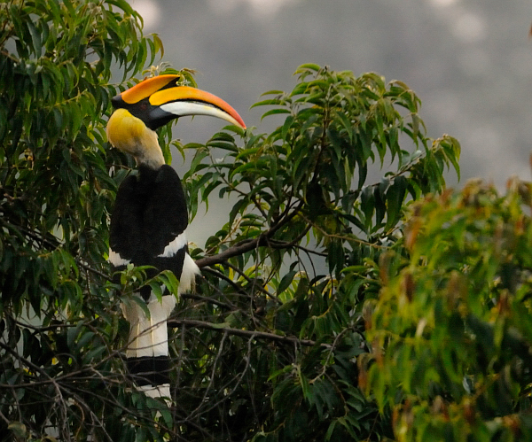 Great Hornbill wallpaper