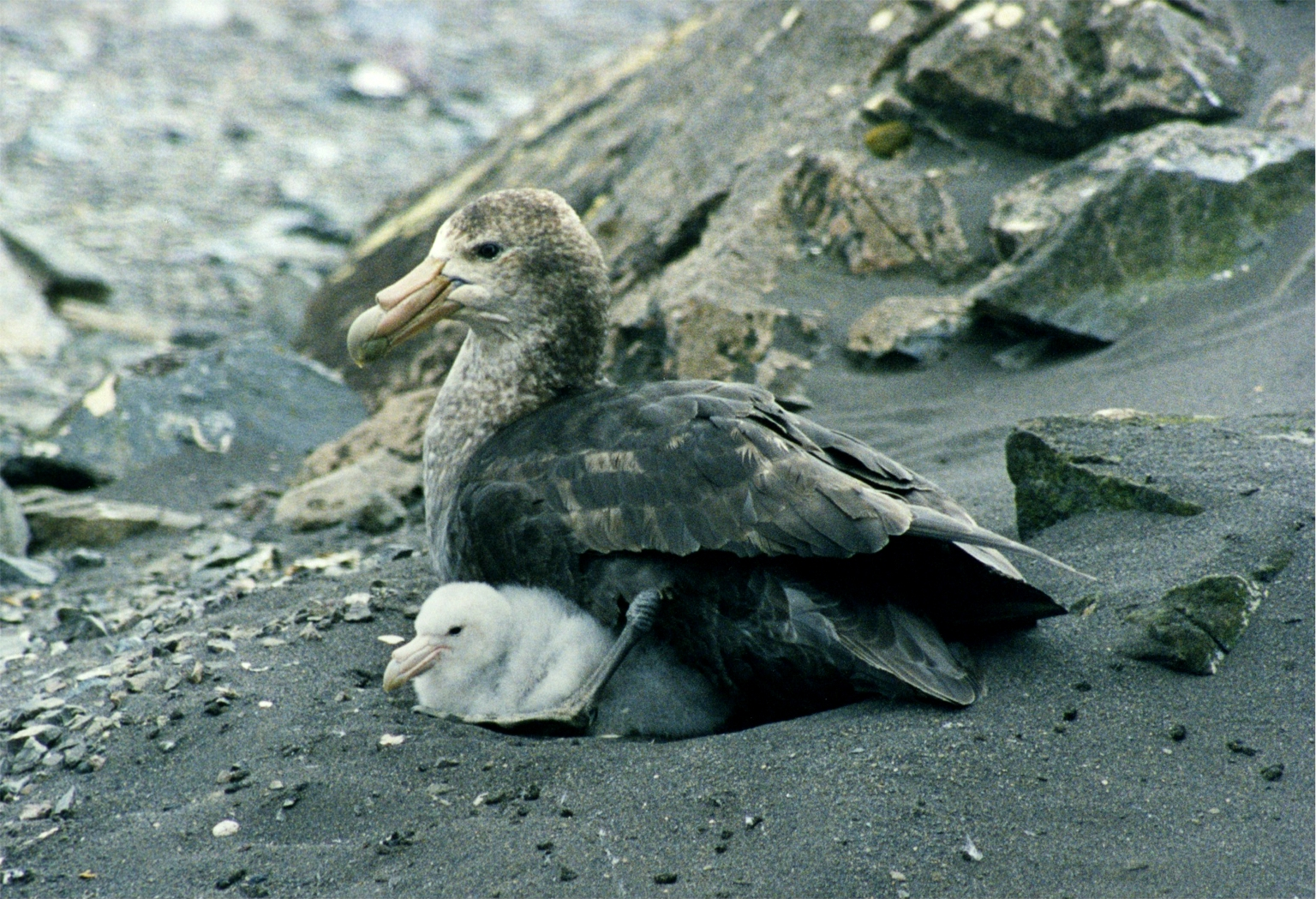 Southern Giant Petrel wallpaper