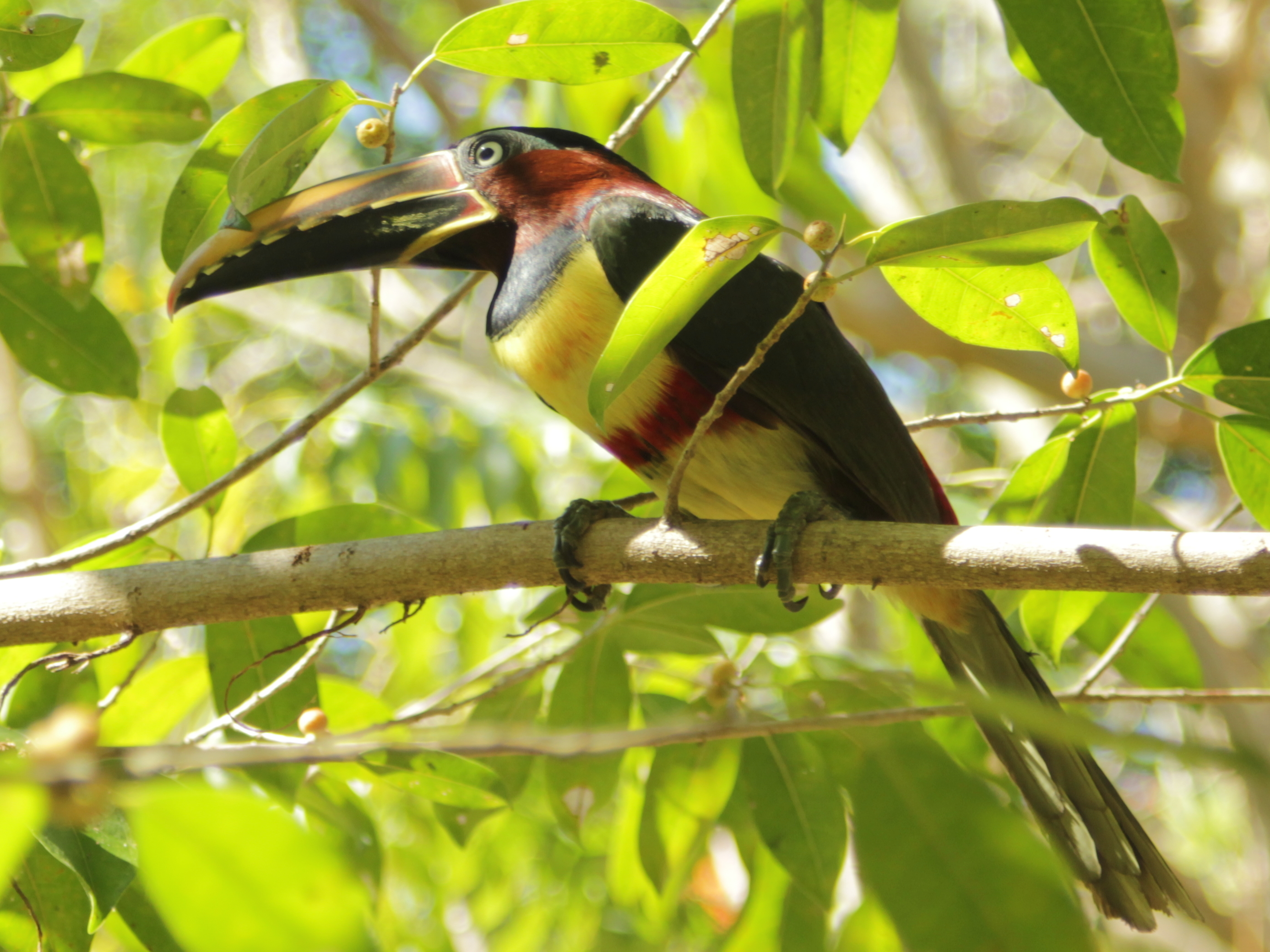 Chestnut-eared Aracari wallpaper
