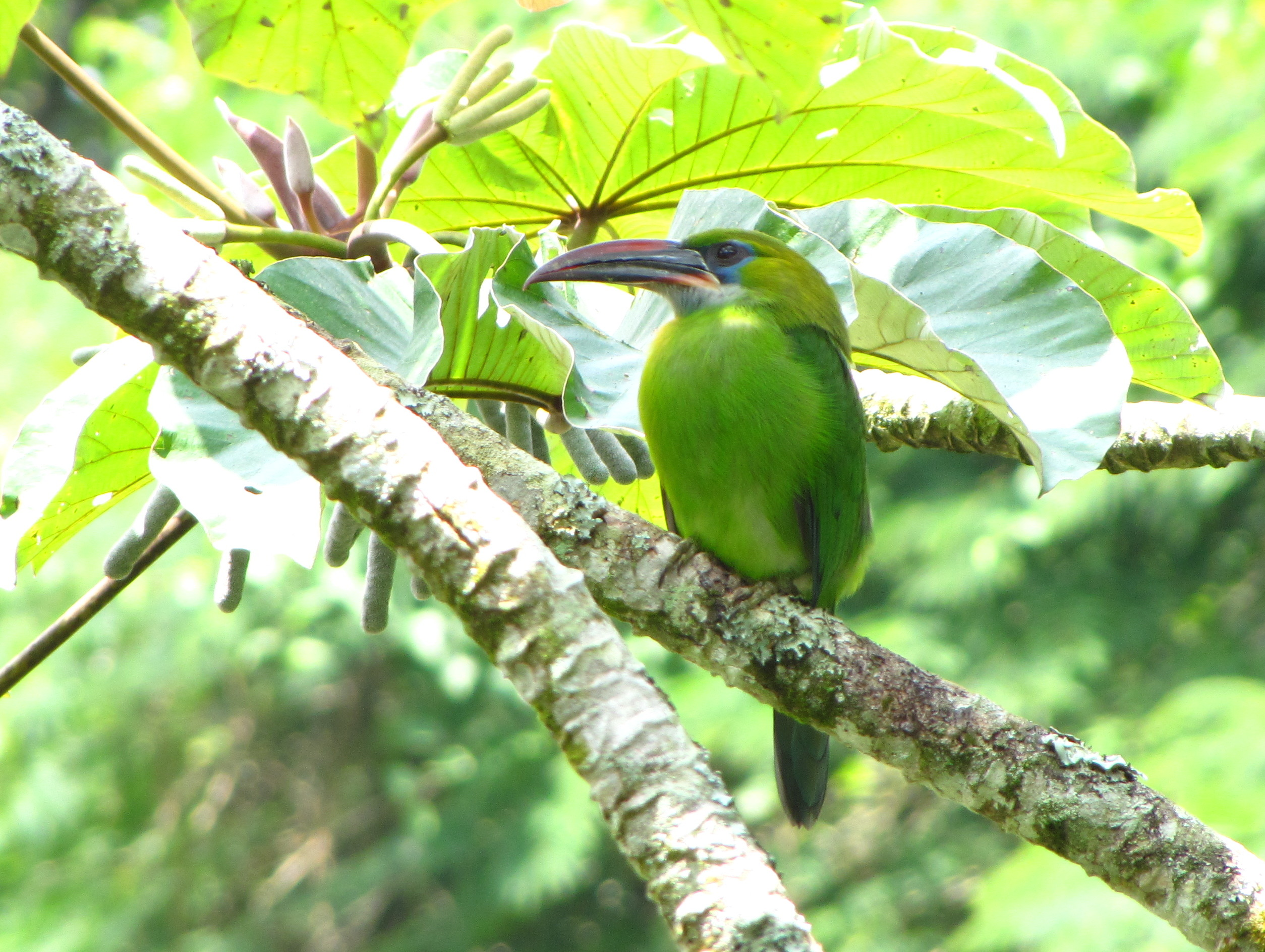 Groove-billed Toucanet wallpaper