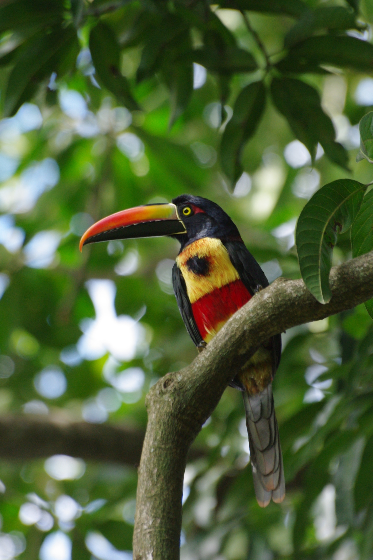 Fiery-billed Aracari wallpaper