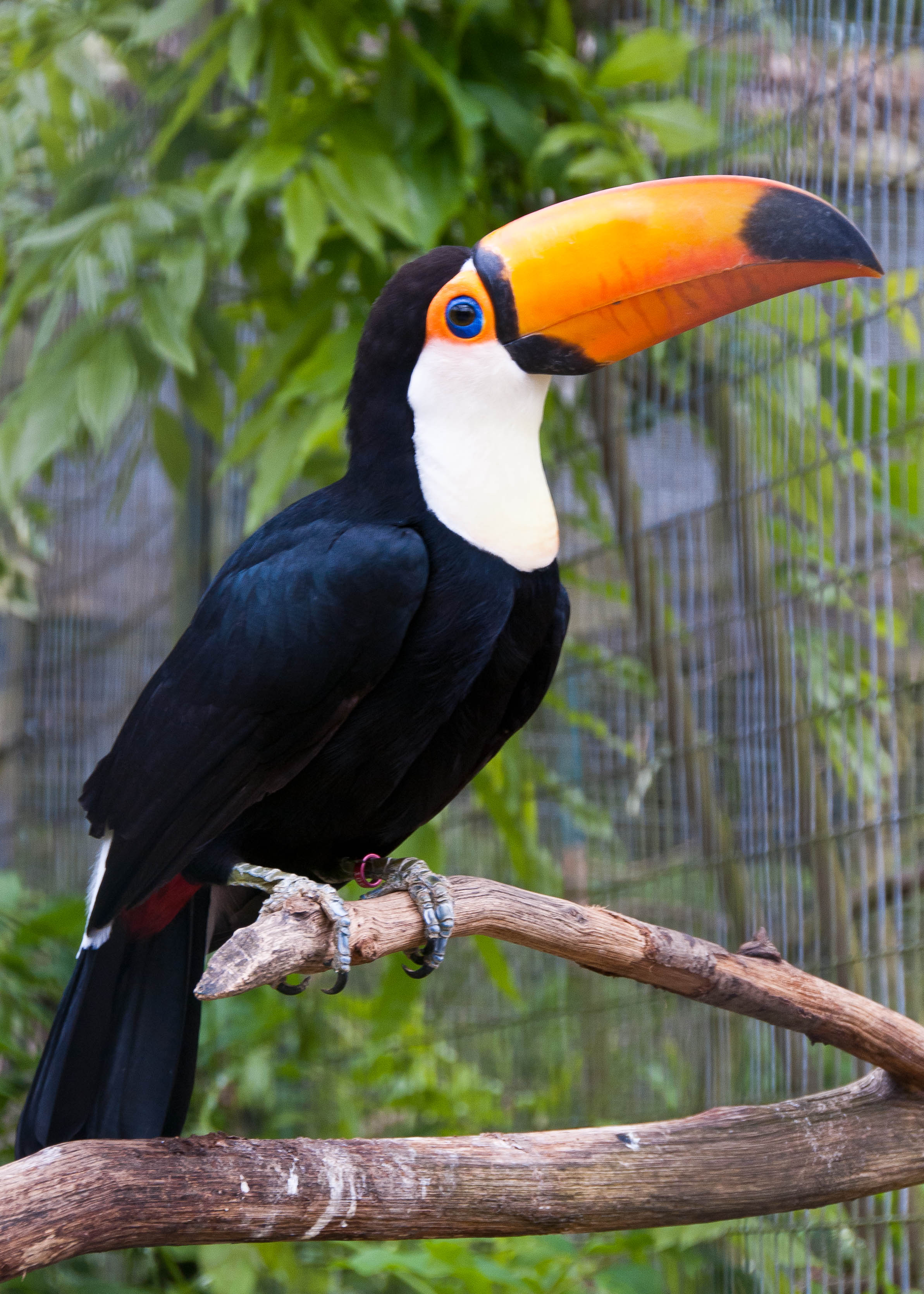 Toco Toucan wallpaper