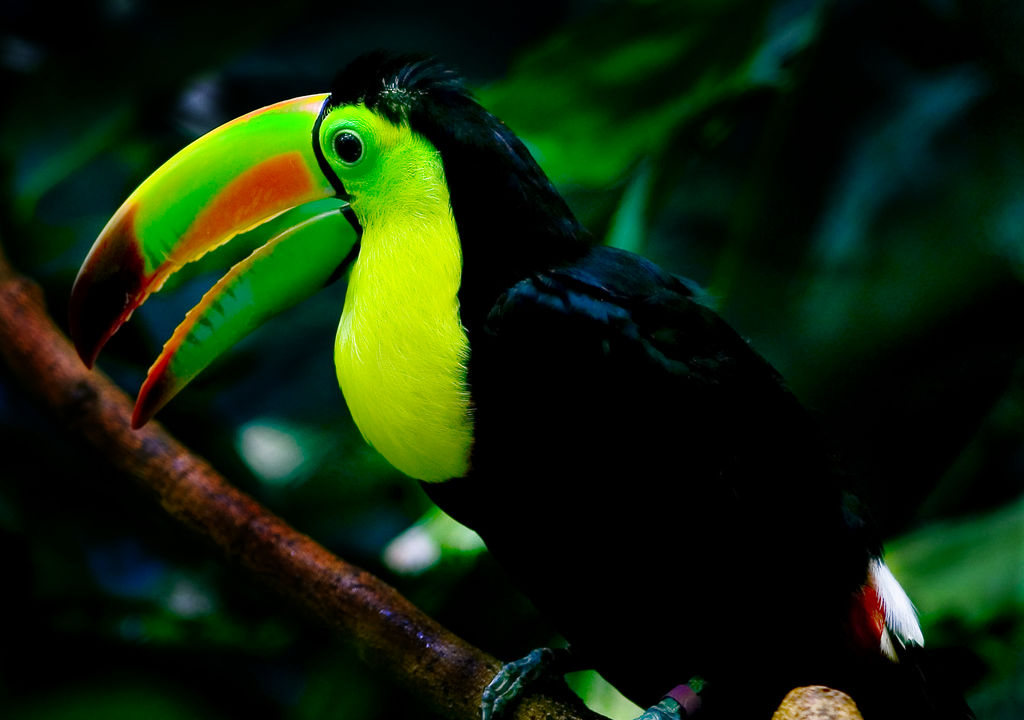 Keel-billed Toucan wallpaper