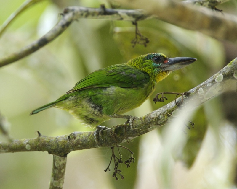 Red-throated Barbet wallpaper