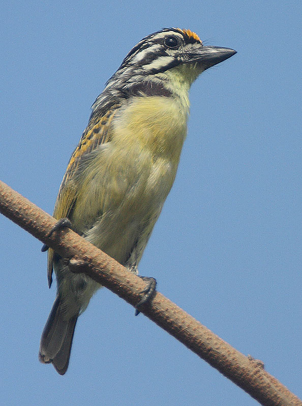 Yellow-fronted Tinkerbird wallpaper