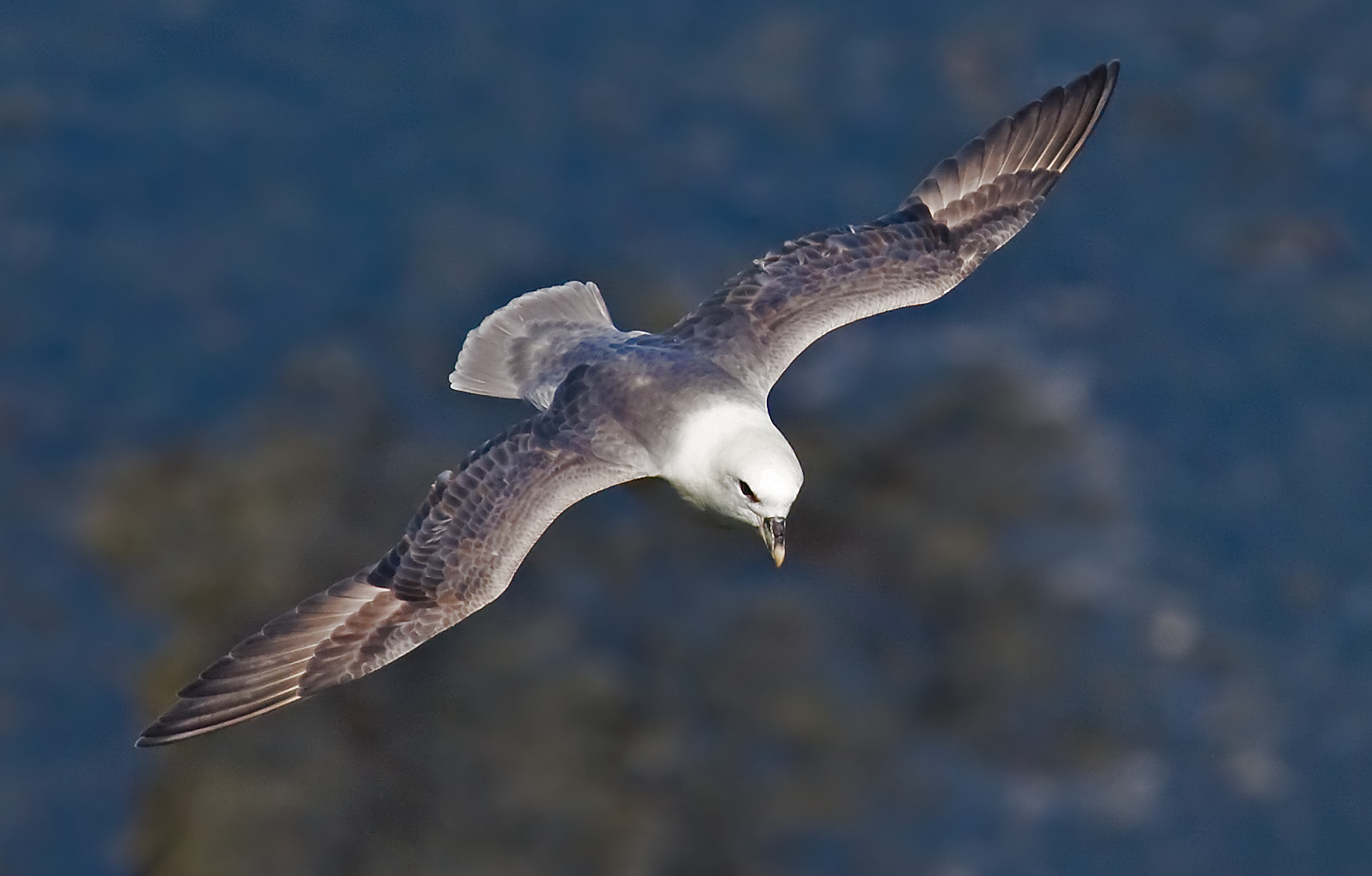 Northern Fulmar wallpaper