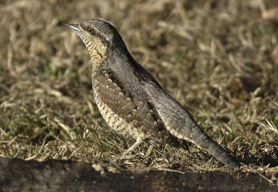 Eurasian Wryneck wallpaper