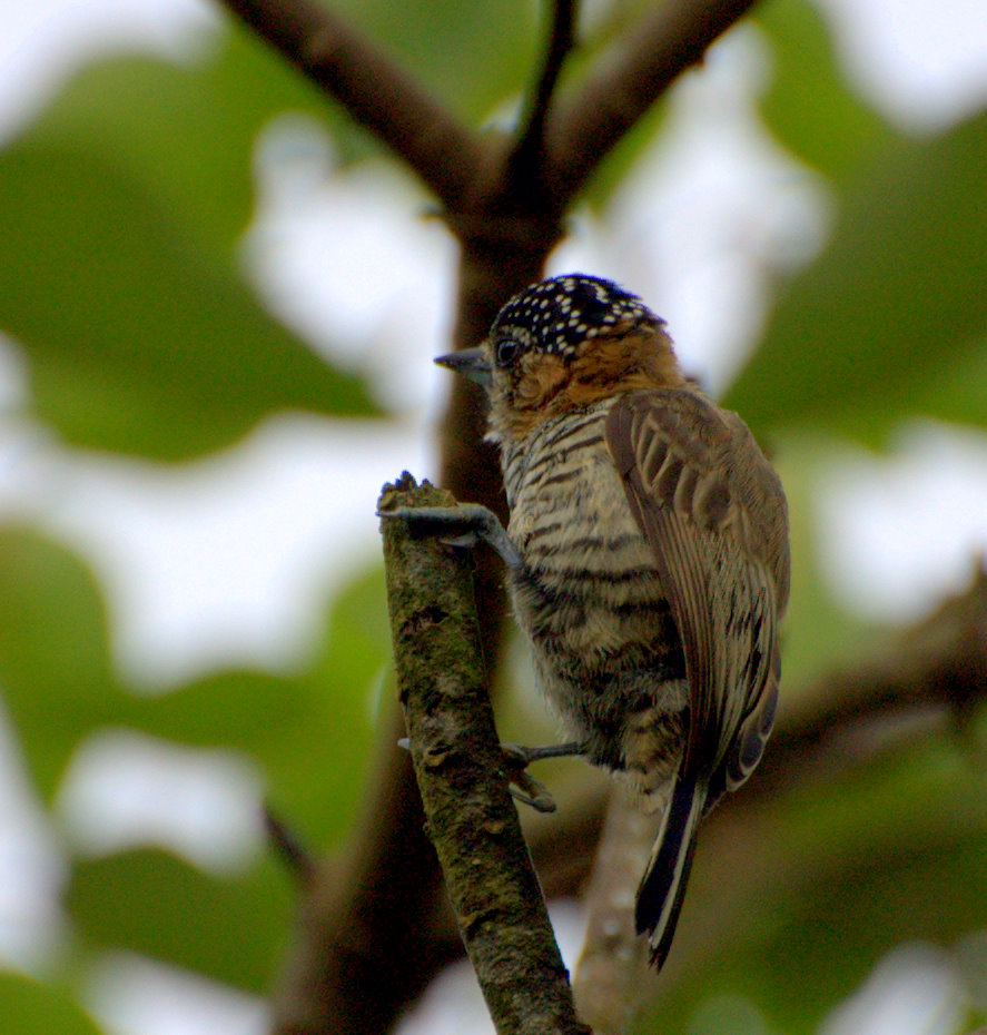 Ochre-collared Piculet wallpaper
