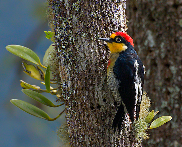 Yellow-fronted Woodpecker wallpaper
