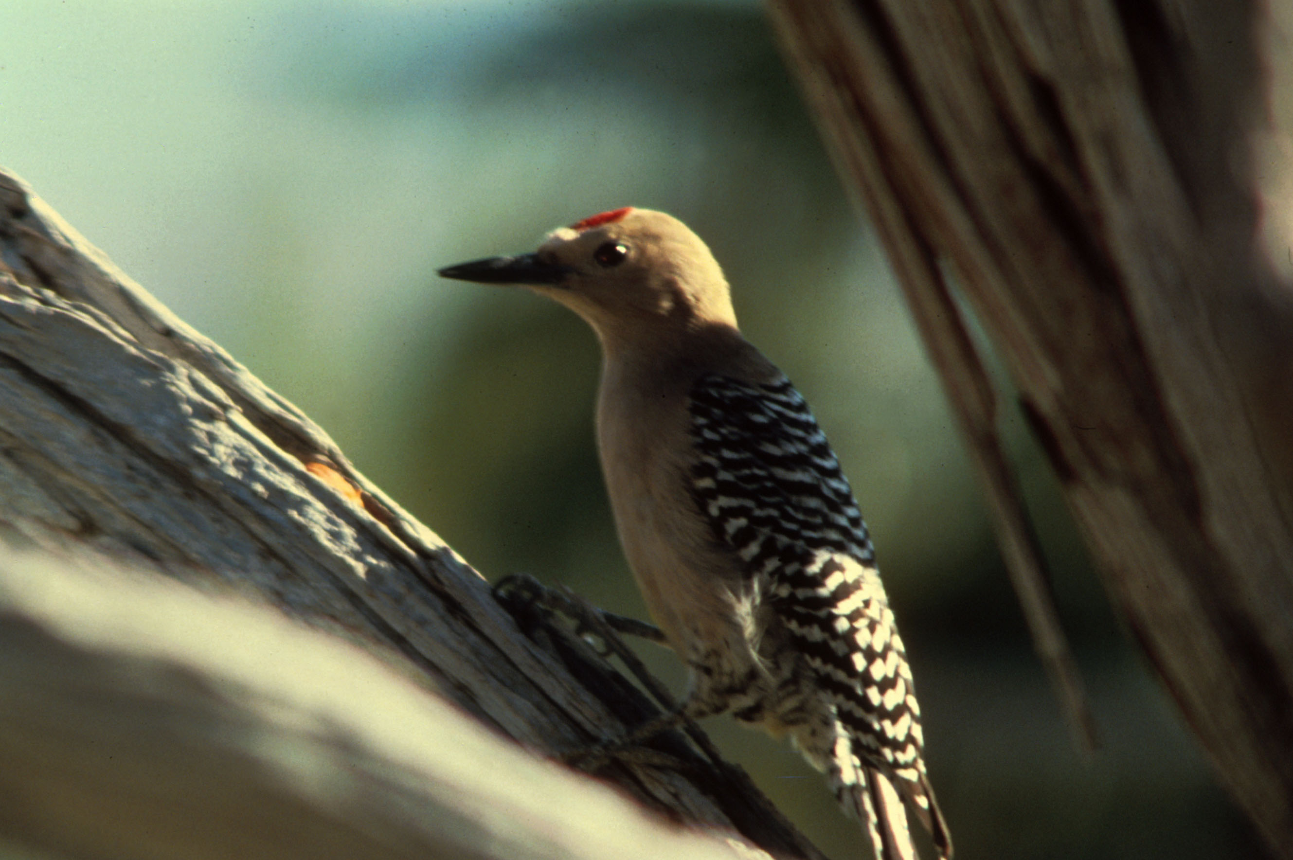 Gila Woodpecker wallpaper