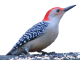 Green-backed Woodpecker wallpaper