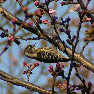 Japanese Pygmy Woodpecker wallpaper