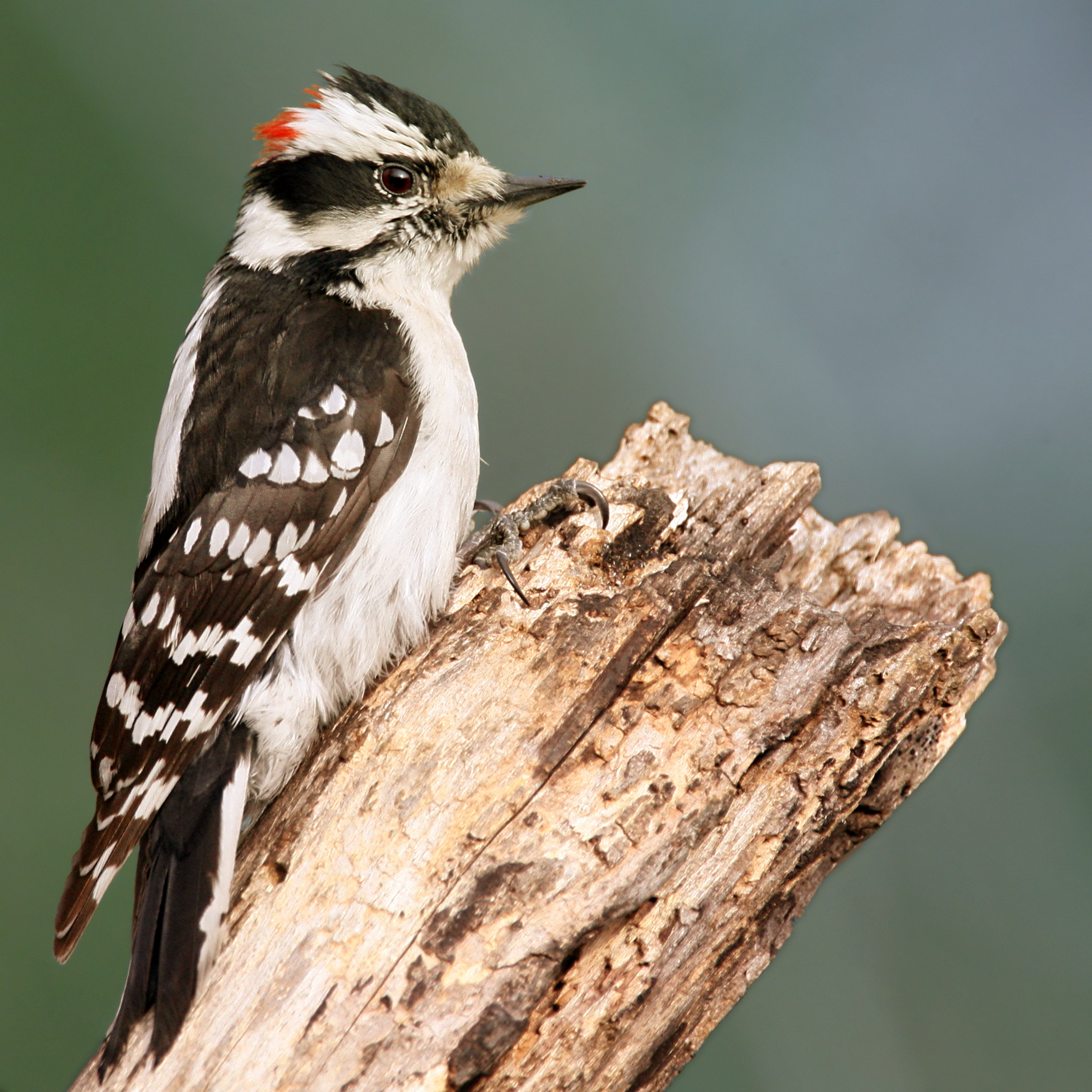 Downy Woodpecker wallpaper