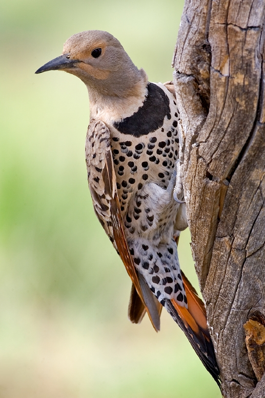 Northern Flicker wallpaper