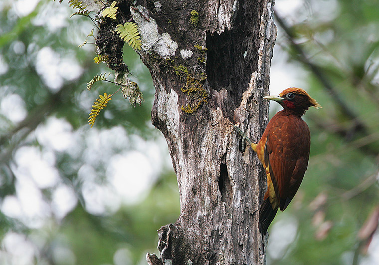 Chestnut Woodpecker wallpaper