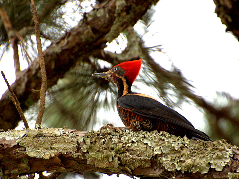 Lineated Woodpecker wallpaper