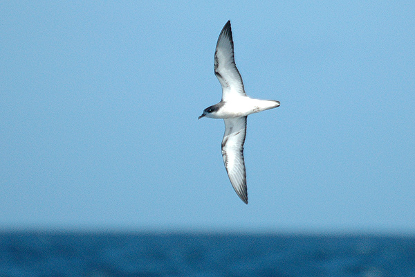 Cook's Petrel wallpaper