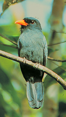 Black-fronted Nunbird wallpaper