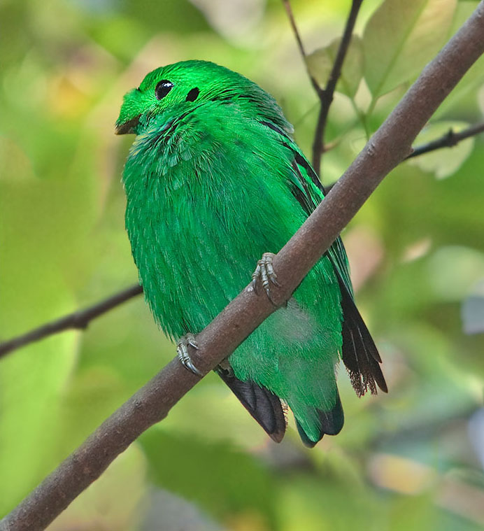 Green Broadbill wallpaper