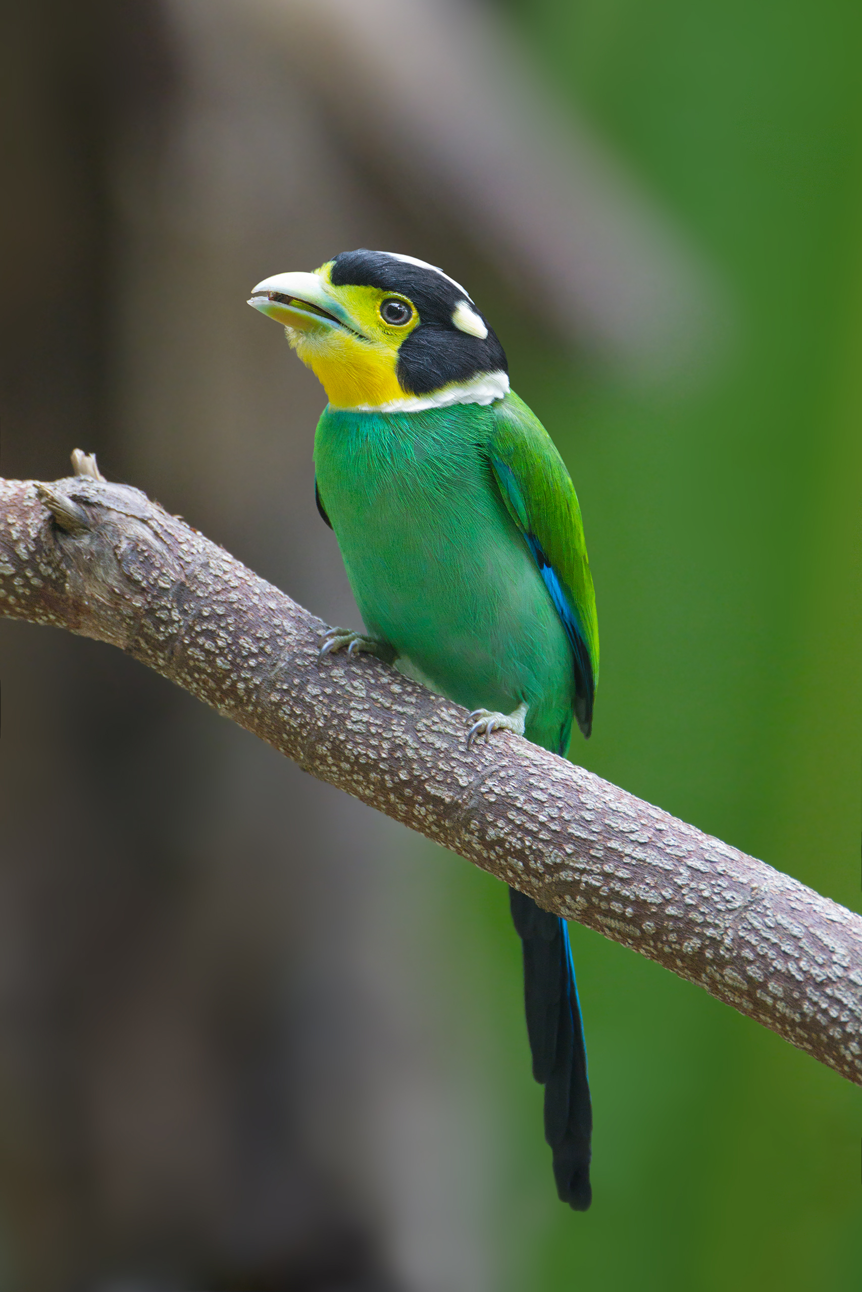 Long-tailed Broadbill wallpaper