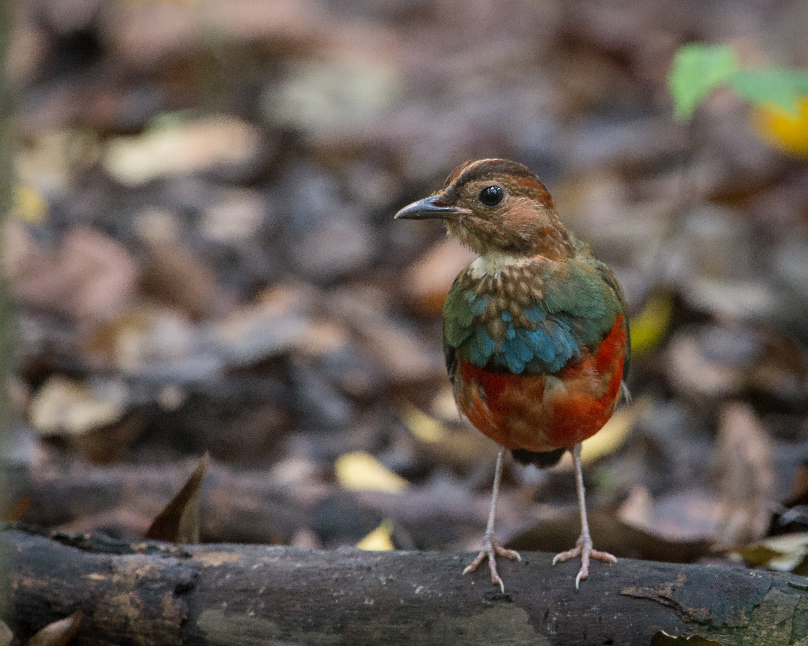 Red-bellied Pitta wallpaper