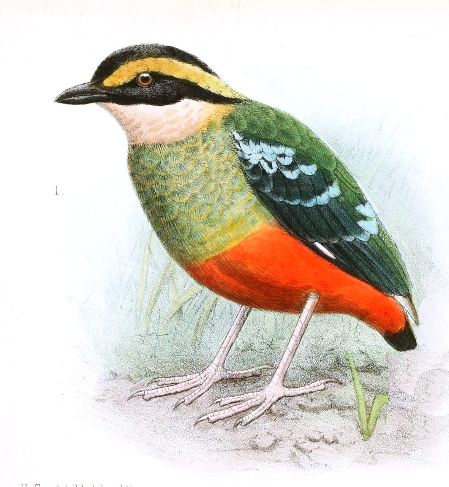Green-breasted Pitta wallpaper