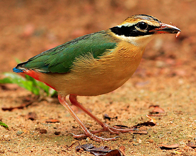 Indian Pitta wallpaper