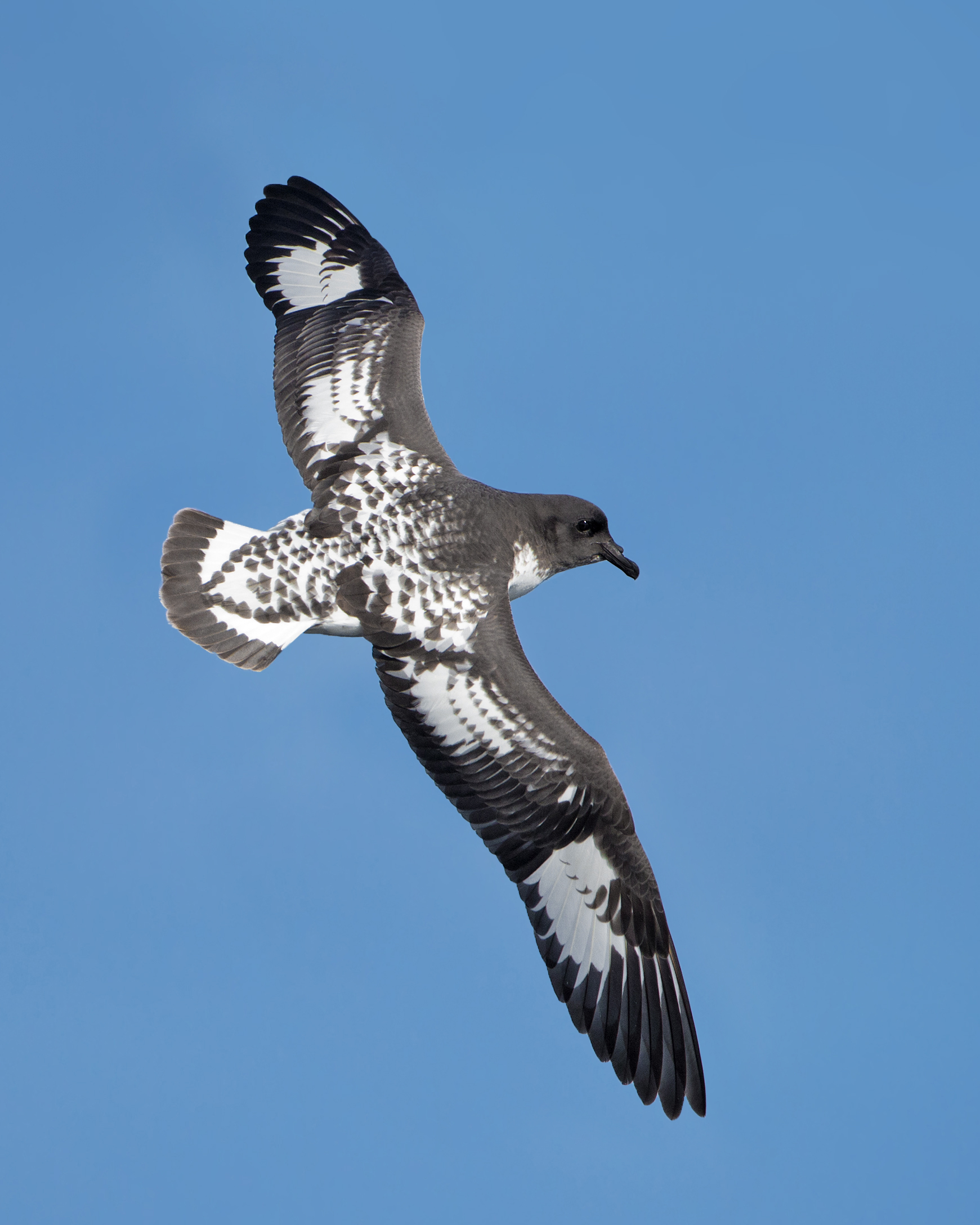 Cape Petrel wallpaper