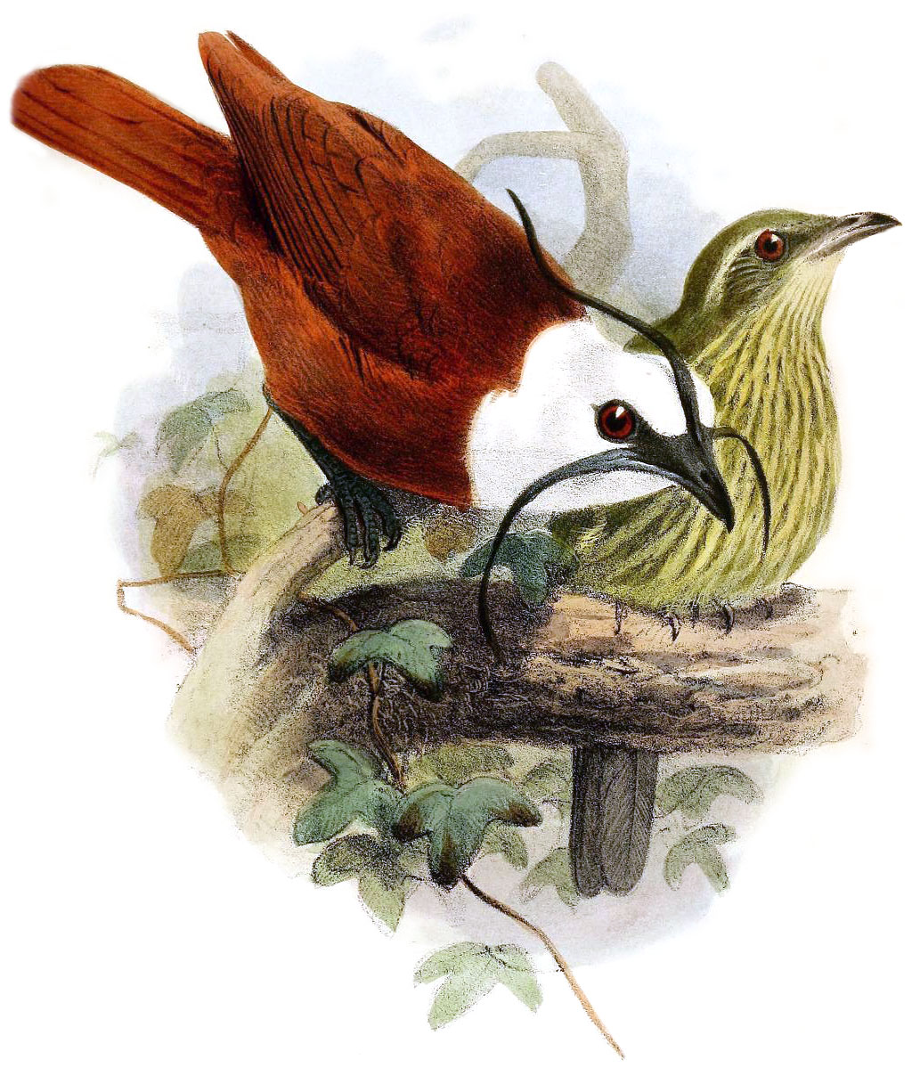 Three-wattled Bellbird wallpaper