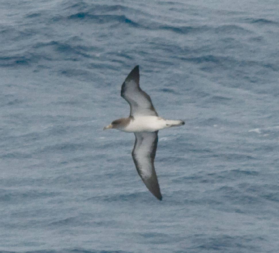 Cory's Shearwater wallpaper