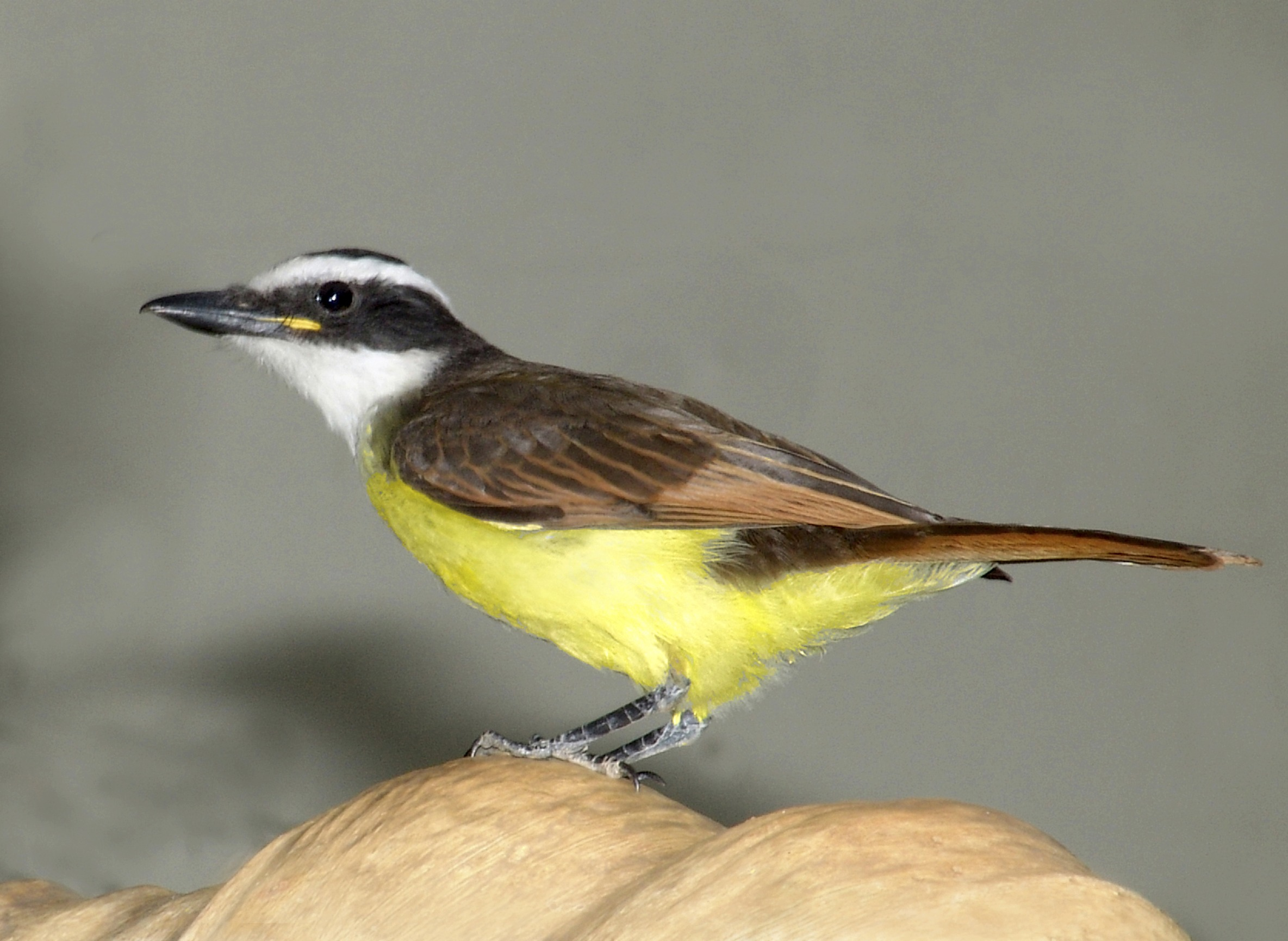 Chapada Flycatcher wallpaper