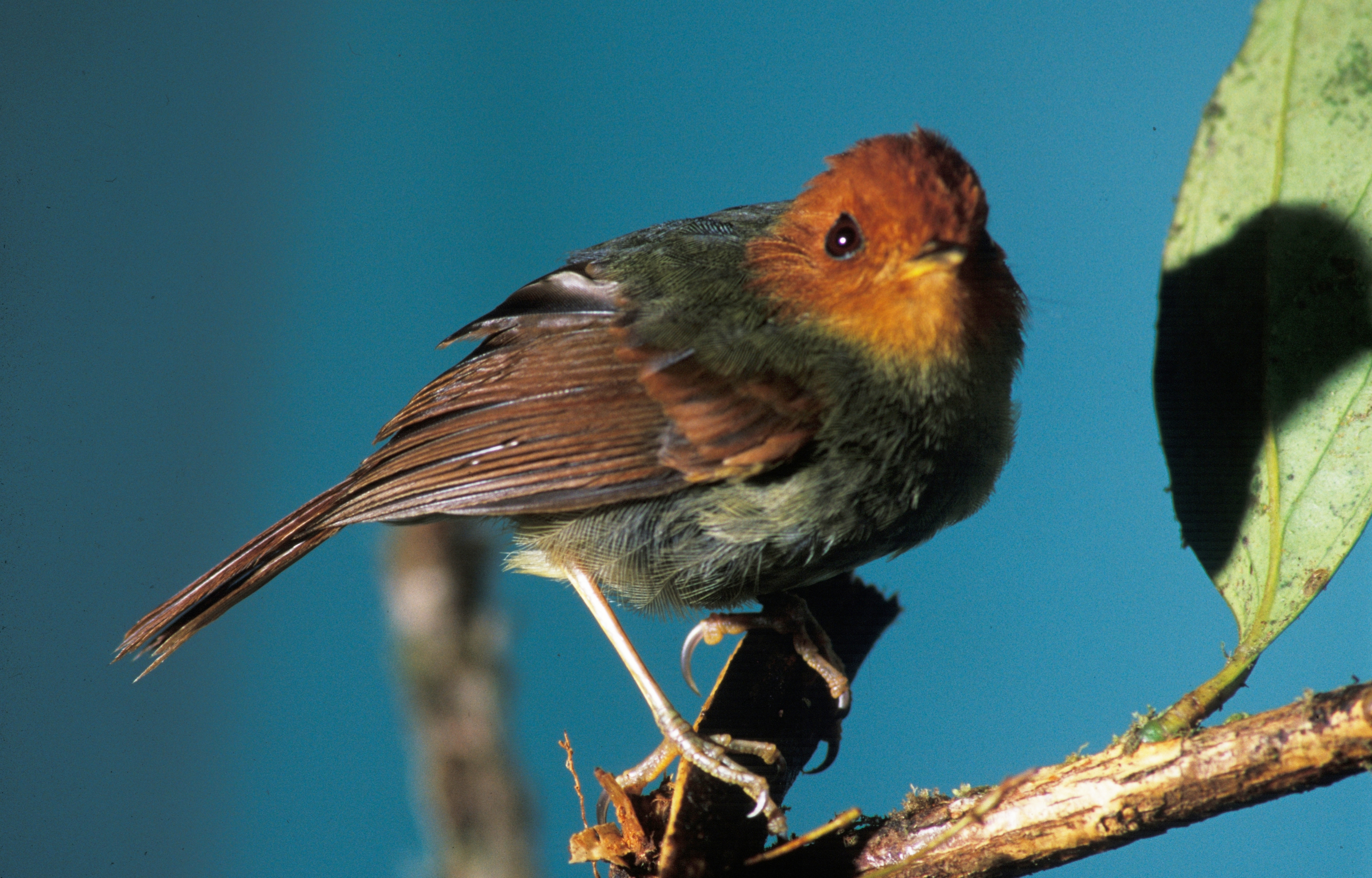 Rufous-headed Pygmy-tyrant wallpaper