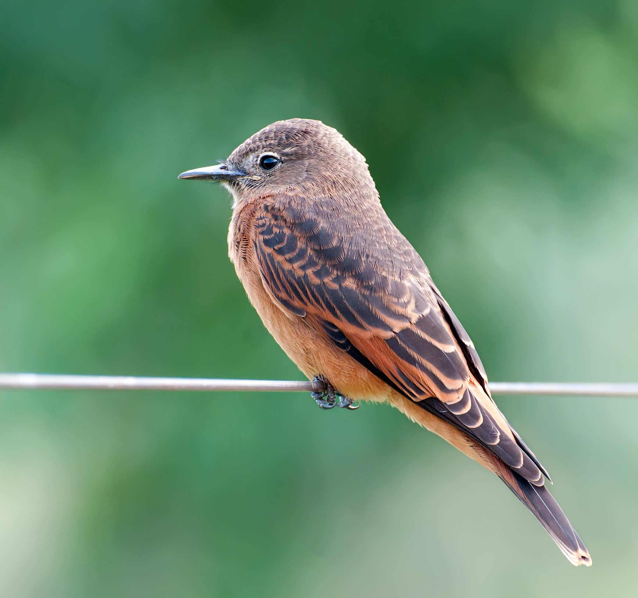 Cliff Flycatcher wallpaper