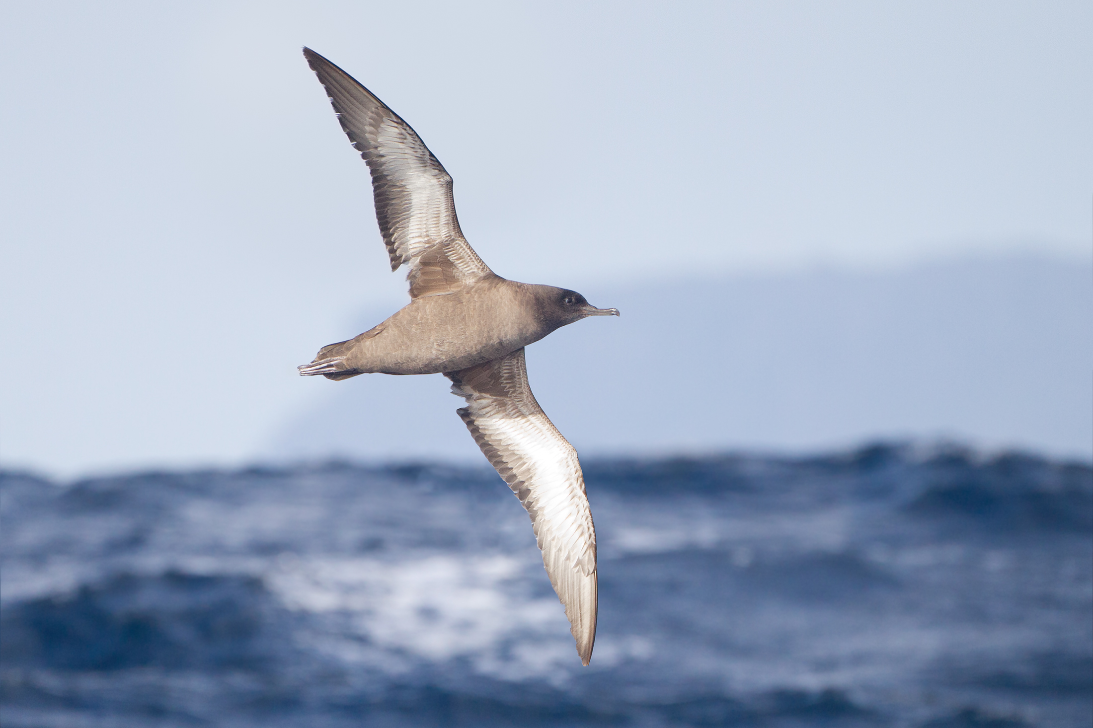 Sooty Shearwater wallpaper