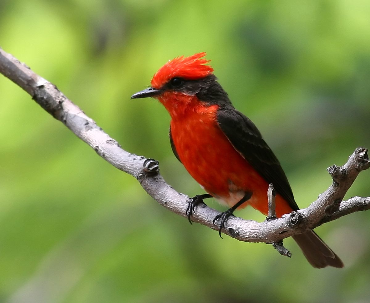 Vermilion Flycatcher wallpaper