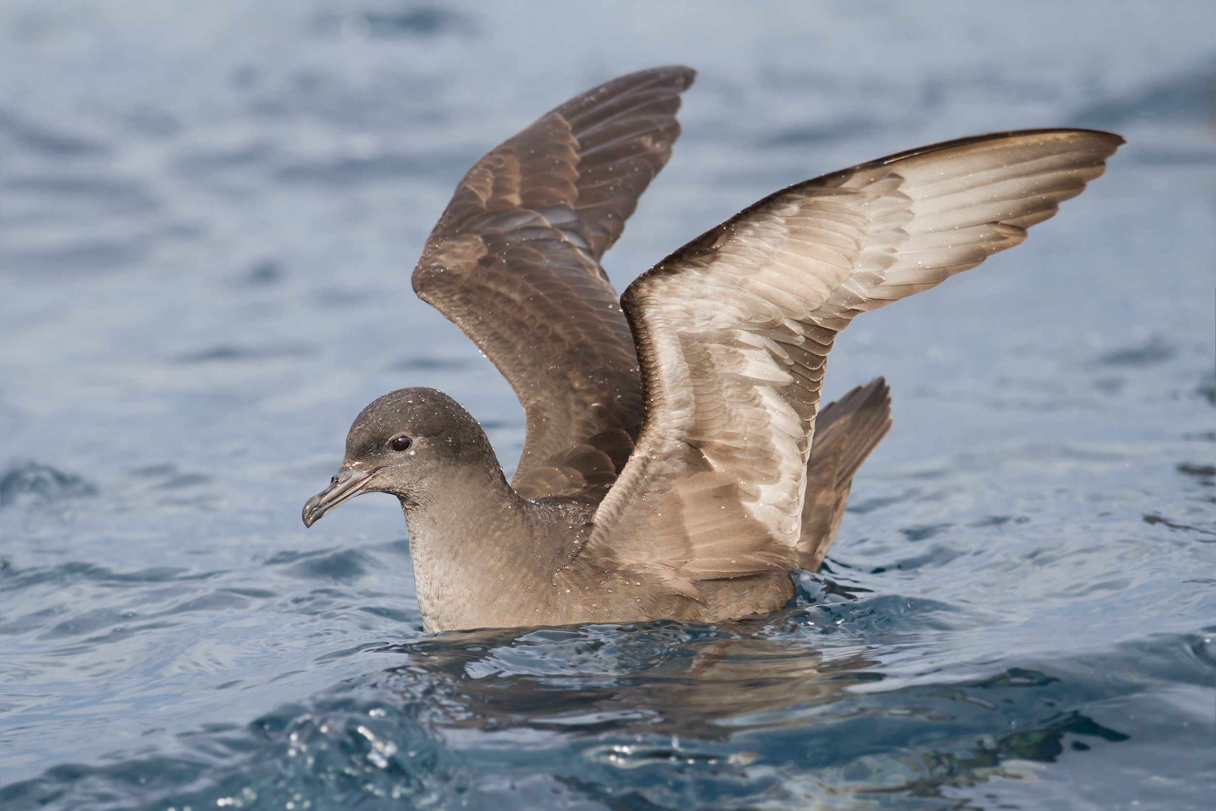 Short-tailed Shearwater wallpaper
