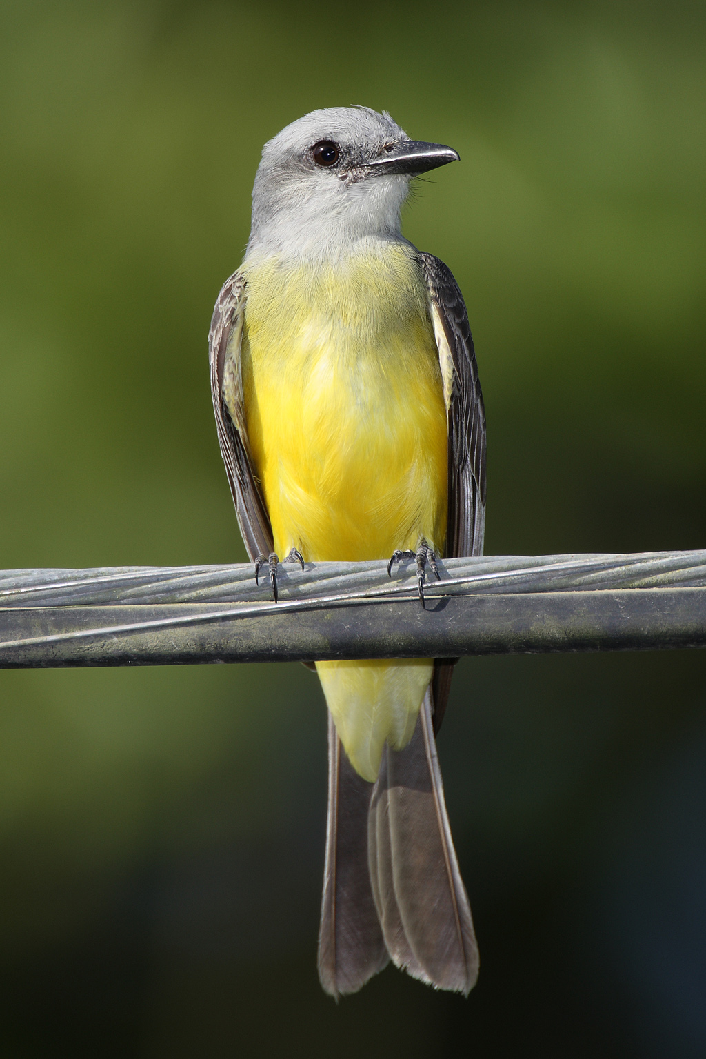Tropical Kingbird wallpaper