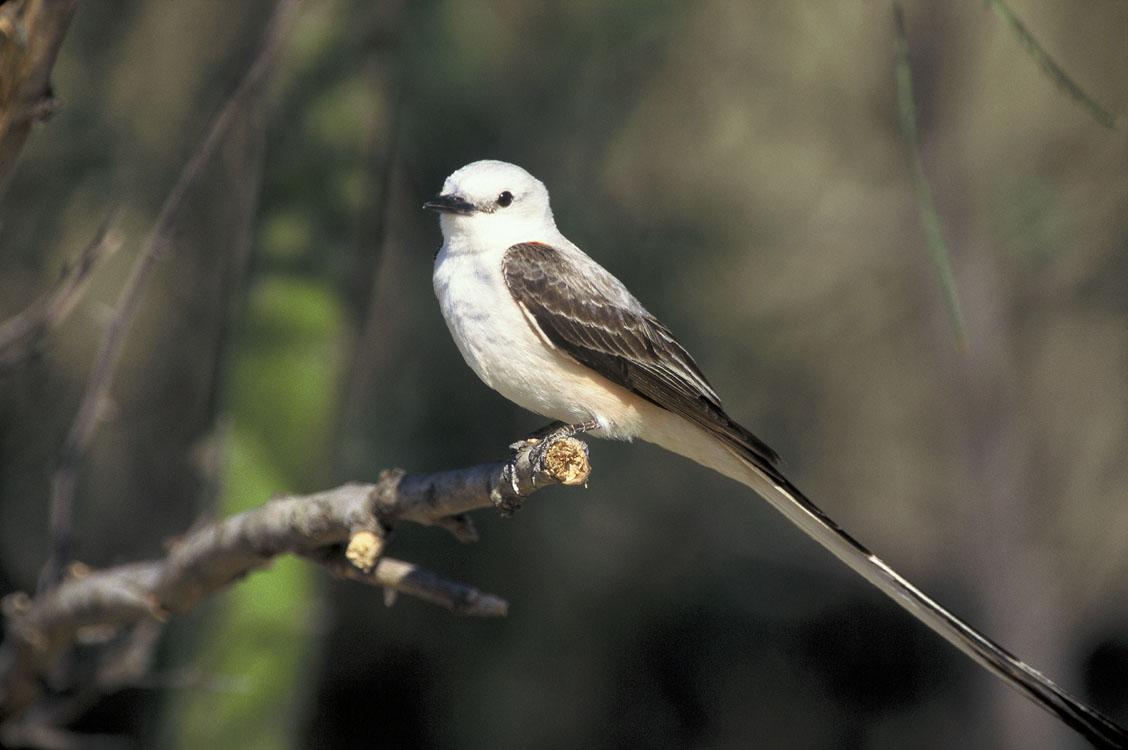 Scissor-tailed Flycatcher wallpaper