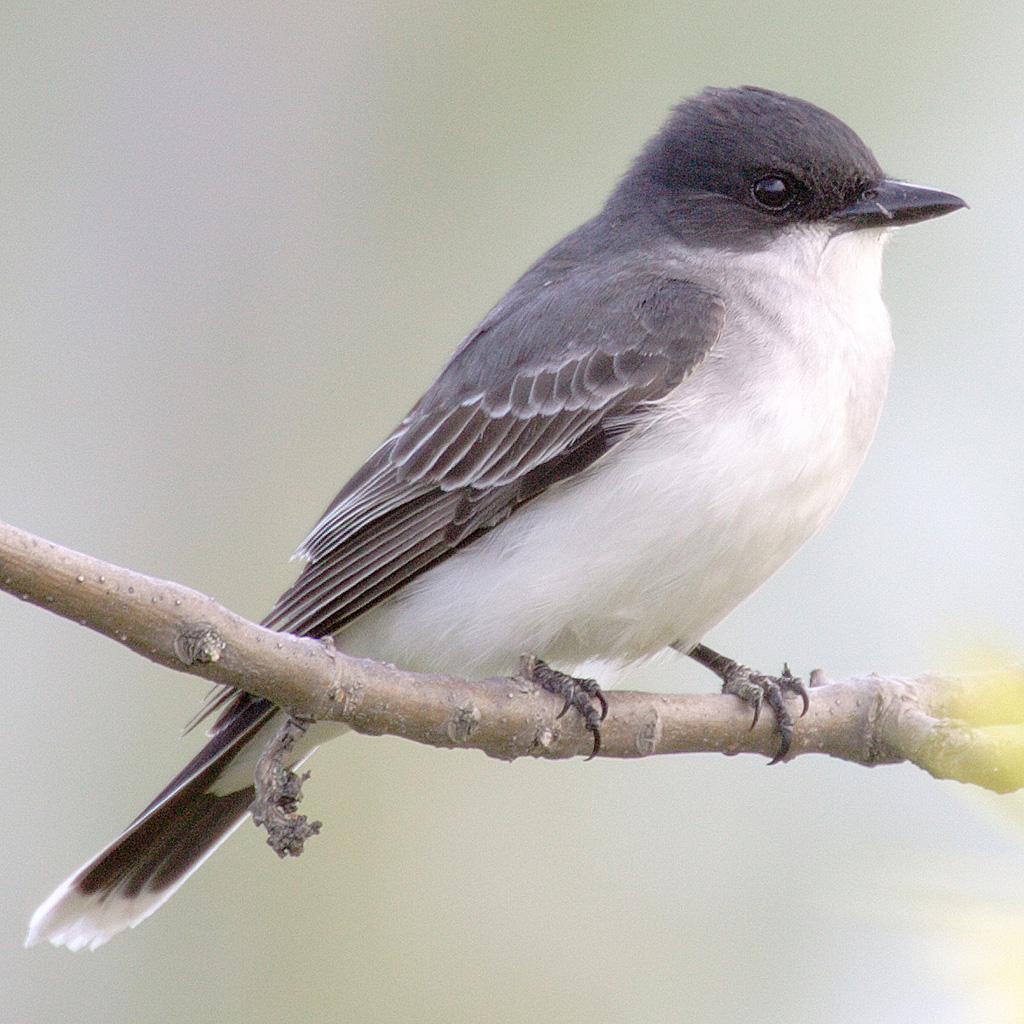 Eastern Kingbird wallpaper