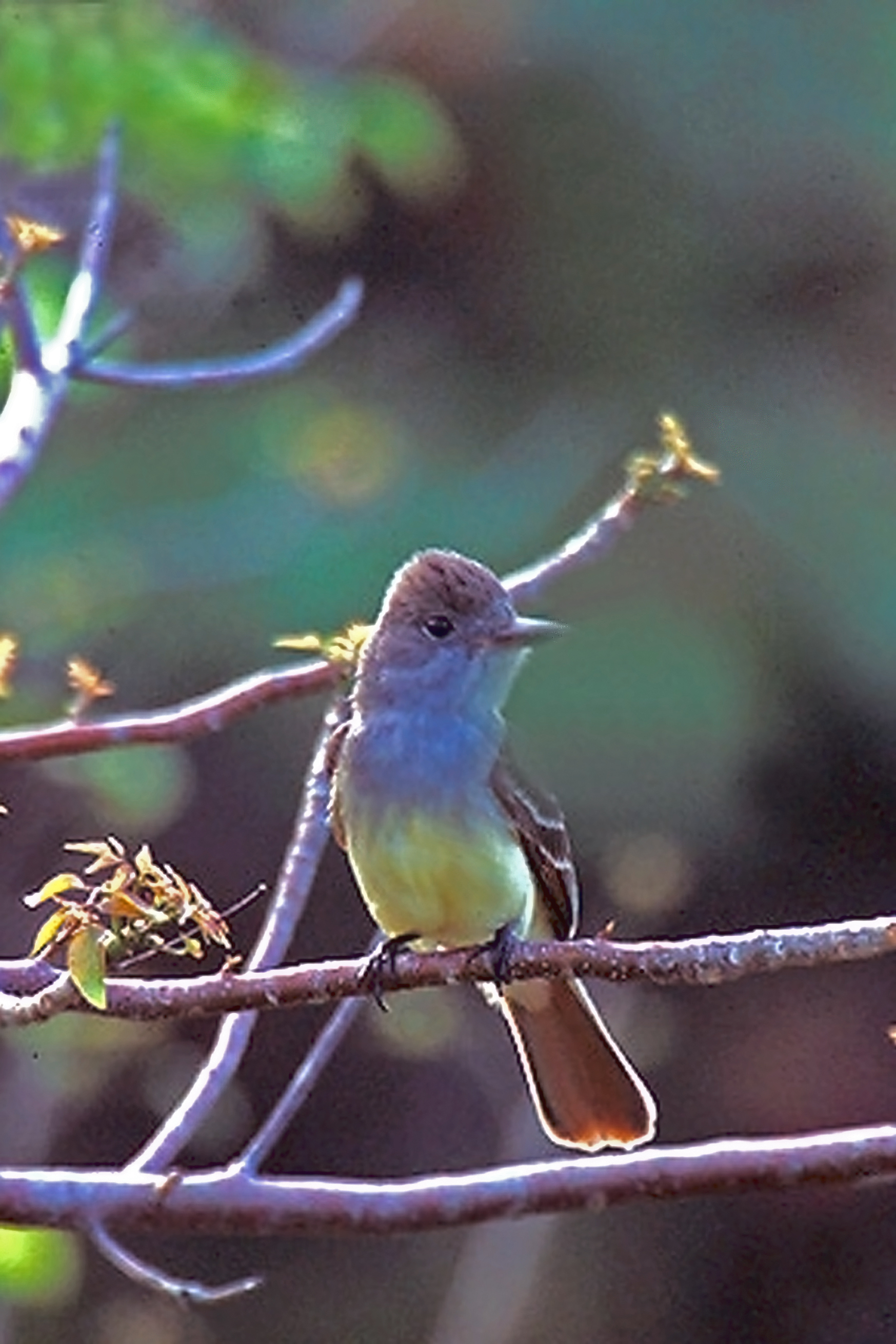 Great Crested Flycatcher wallpaper