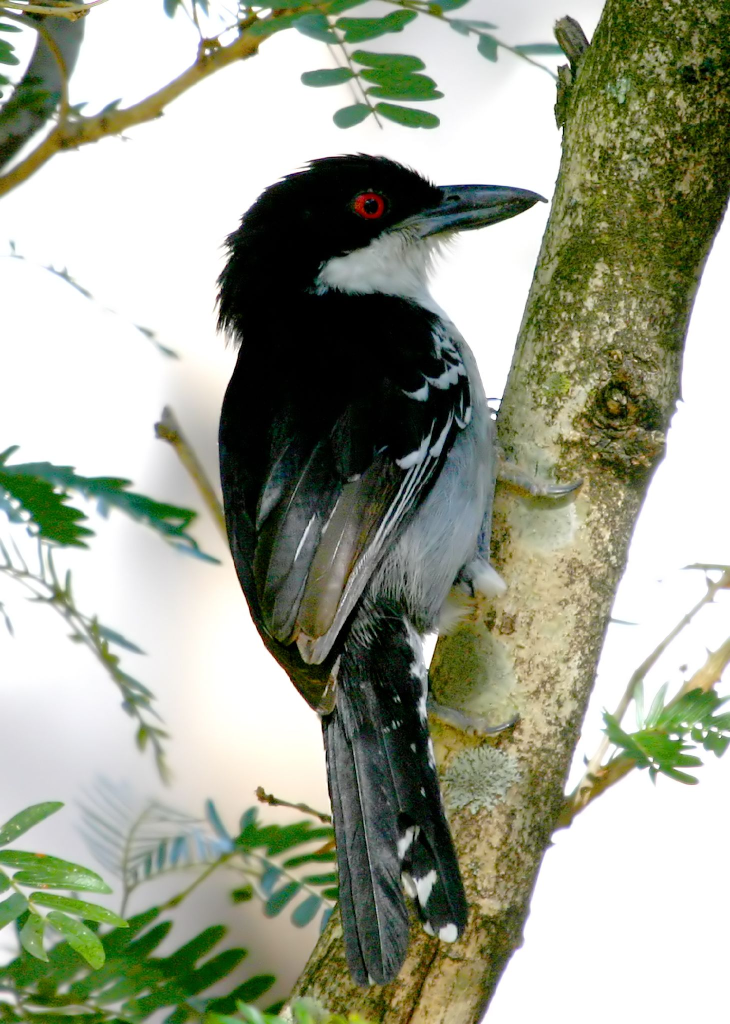 Great Antshrike wallpaper