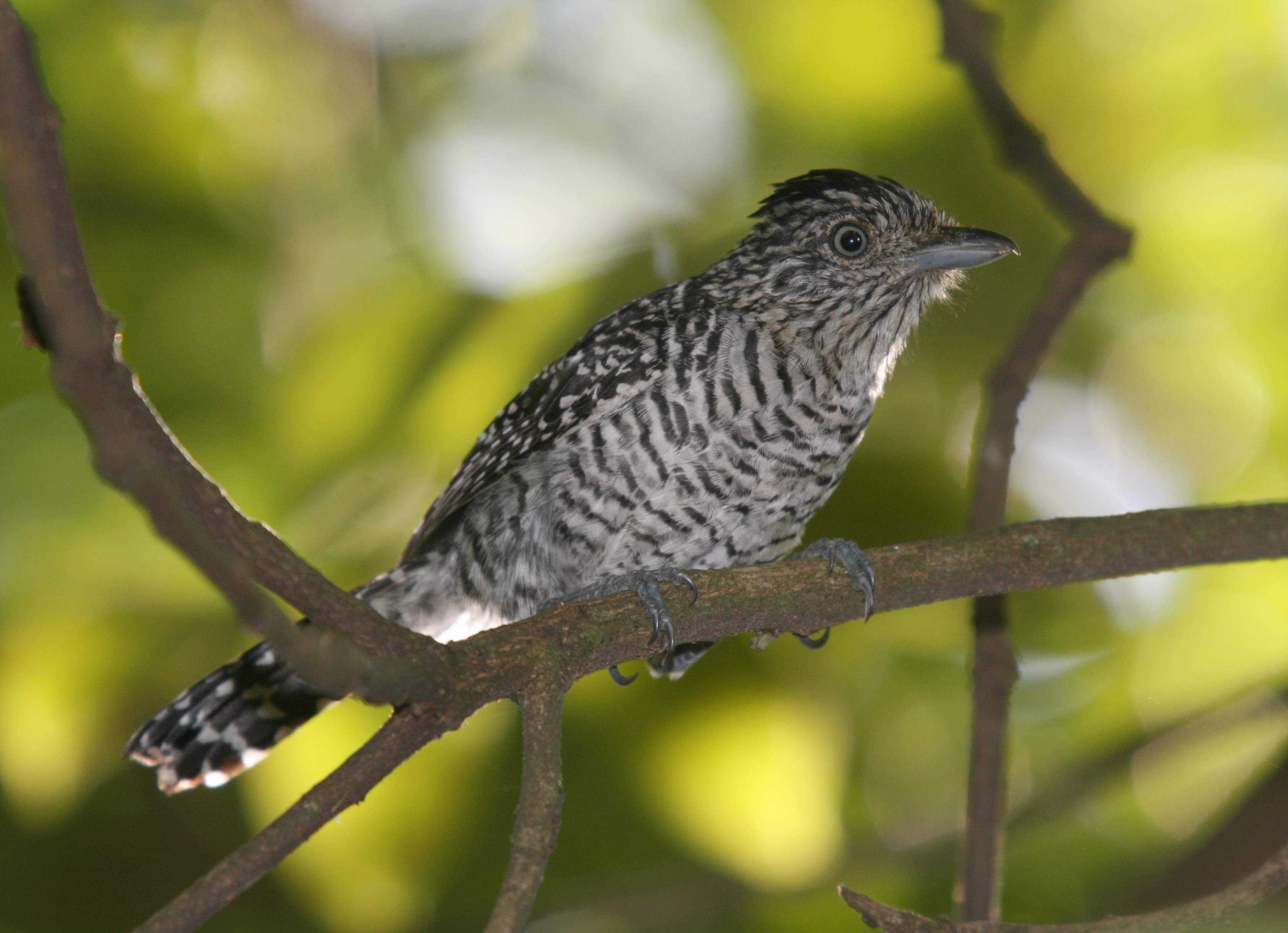Barred Antshrike wallpaper