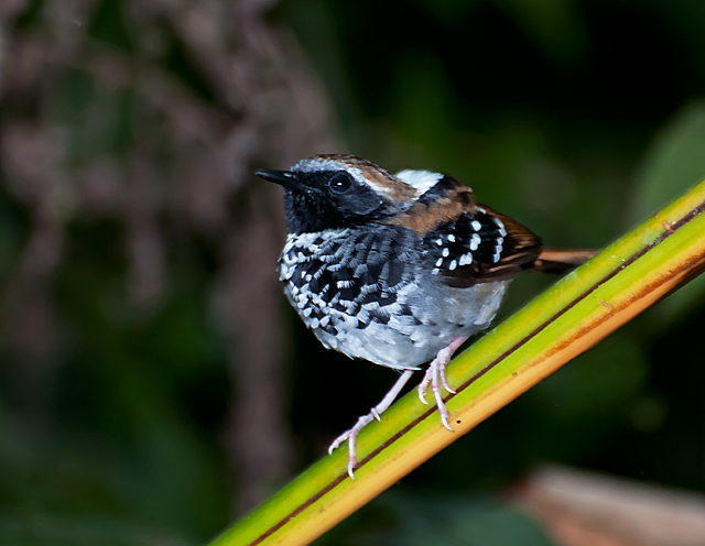 Squamate Antbird wallpaper