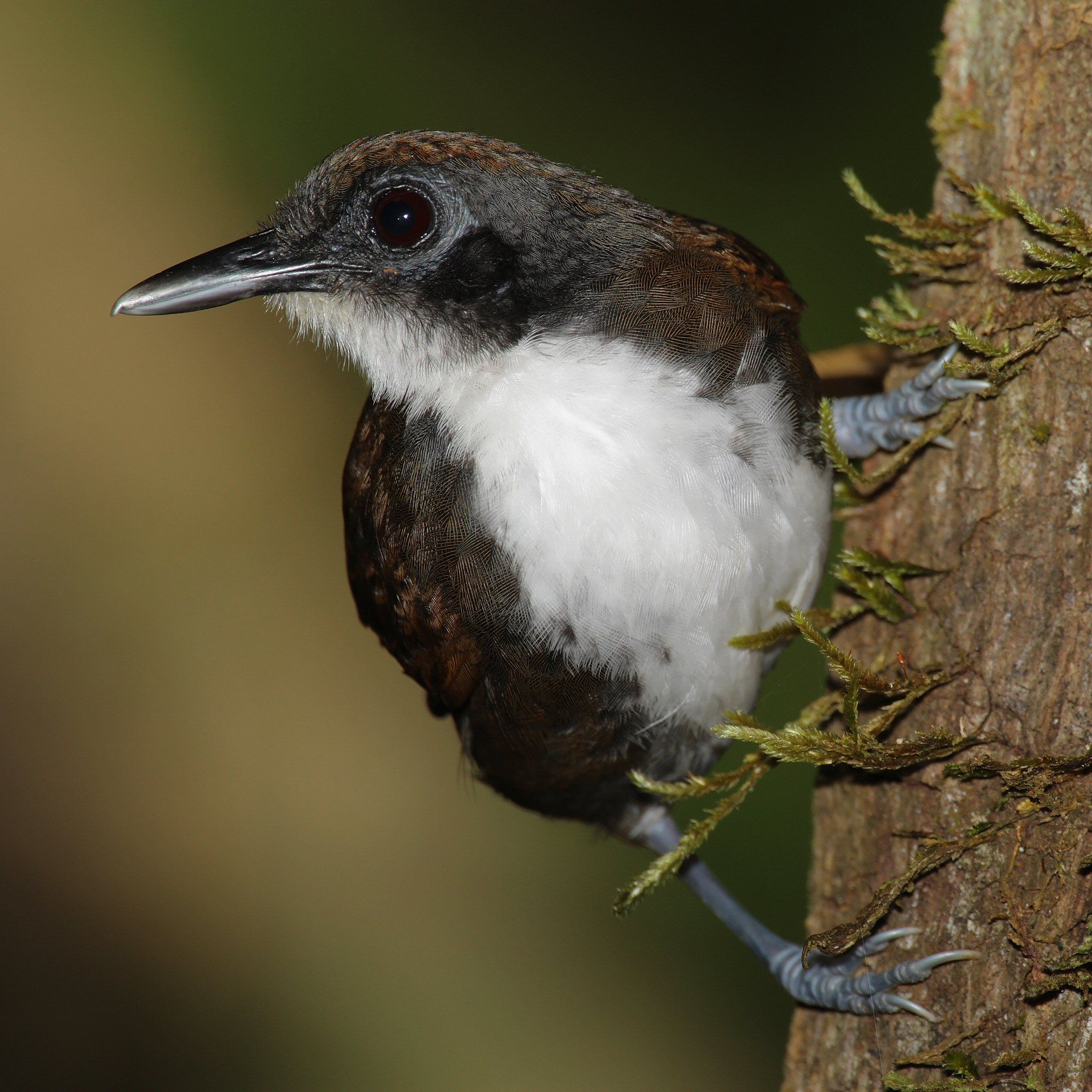 Bicoloured Antbird wallpaper