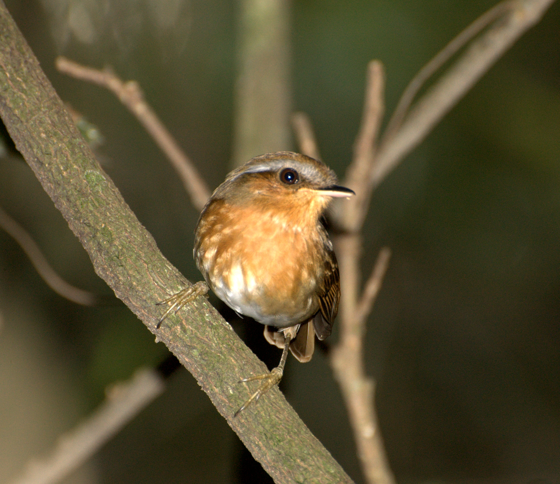 Rufous Gnateater wallpaper