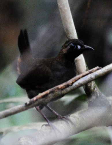 Black-faced Antthrush wallpaper