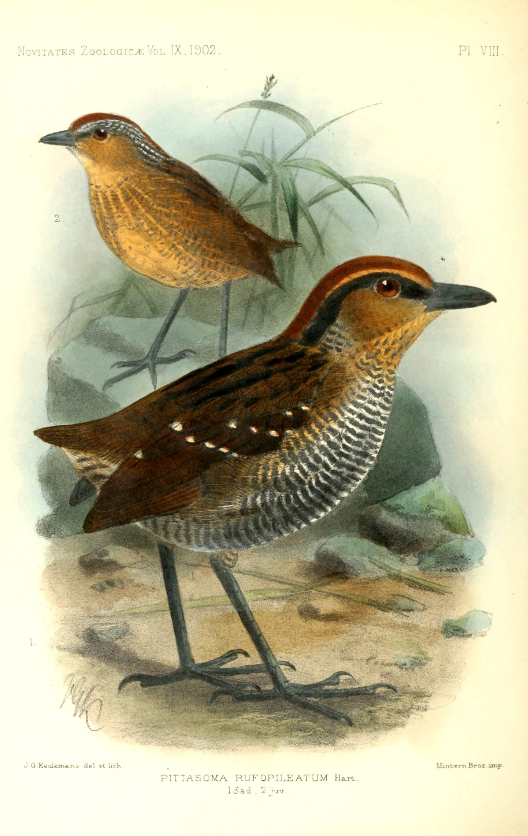 Rufous-crowned Antpitta wallpaper