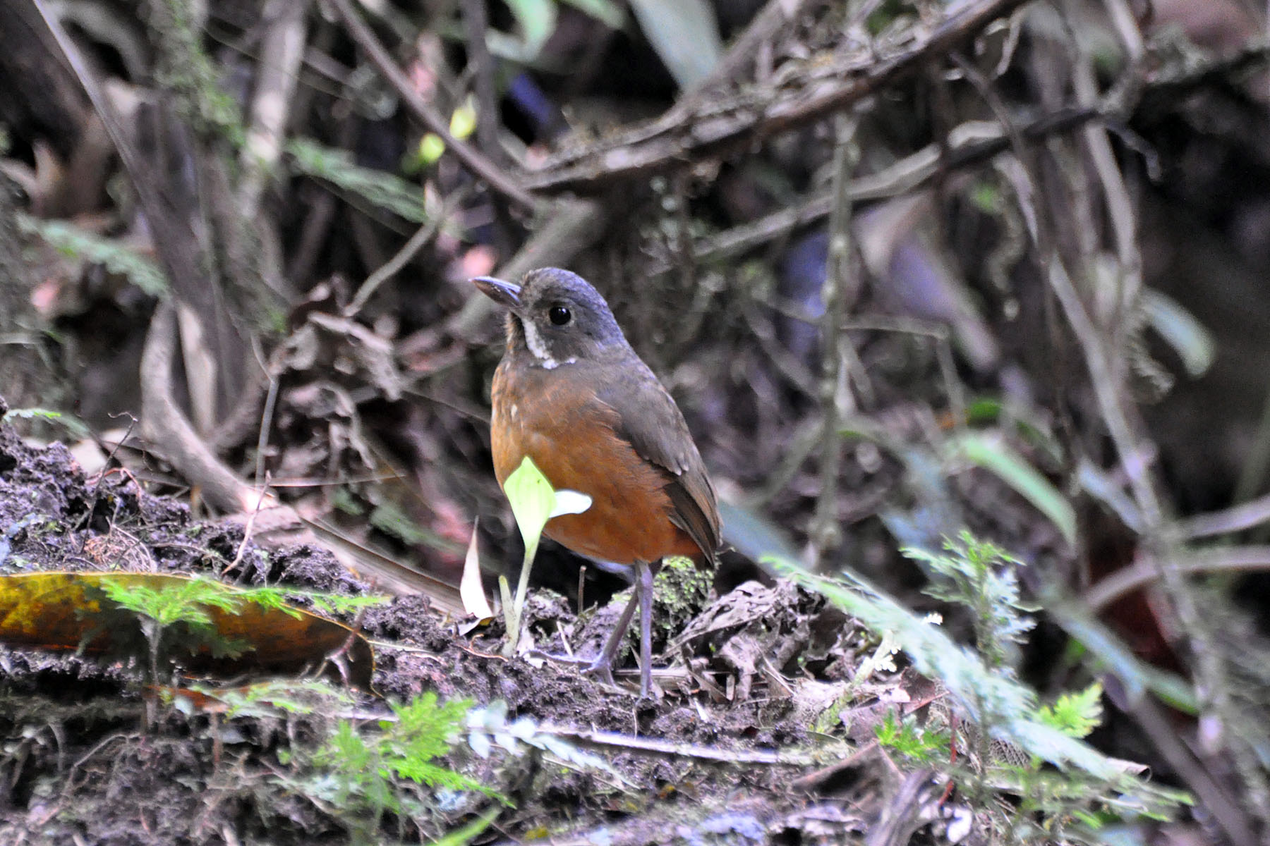 Moustached Antpitta wallpaper